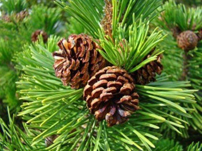 pine_cones_10-300x225