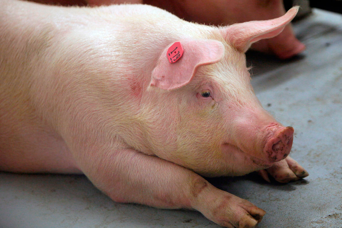 Genetically modified animal experiments  Business Insider
