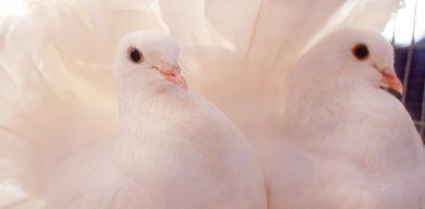 У Сумах пройде виставка-ярмарок голубів