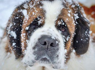 sobaki-zimoy3
