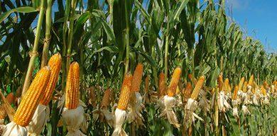 Агрохолдинг загарбав чужий урожай